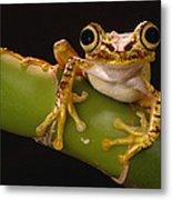Chachi Tree Frog Ecuador Metal Print