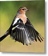 Chaffinch In Flight Metal Print
