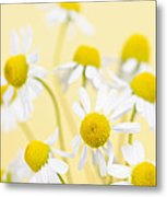 Chamomile Flowers Close Up Metal Print