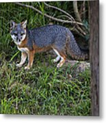 Channel Island Fox Metal Print