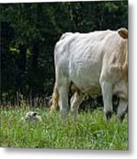 Charolais Cow And Calf In Field Metal Print