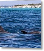 Chasing Dolphins  Metal Print