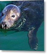 Chatham Harbor Seal Metal Print