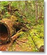 Cheakamus Old Growth Cedar Stumps Metal Print