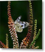 Checkered White On An Indigo Metal Print