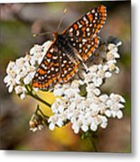 Checkerspot Butterfly On A Yarrow Blossom Metal Print