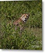 Cheetah   #0095 Metal Print