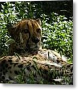 Cheetah 2 Metal Print