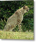 Cheetah-79 Metal Print