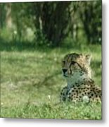 Cheetah At Attention Metal Print