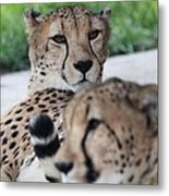 Cheetah Awakening Metal Print