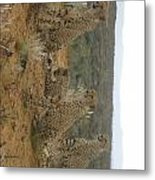 Cheetah Chatter Metal Print