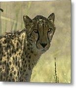 Cheetah Gaze Metal Print