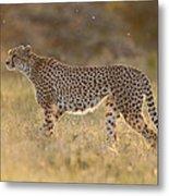 Cheetah In Grassland Kenya Metal Print
