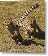 Cheetah Juveniles Playing Metal Print