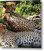 Cheetah - Masai Mara - Kenya Metal Print