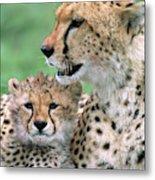 Cheetah Mother And Cub Metal Print