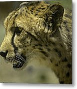 Cheetah On The Prowl Metal Print