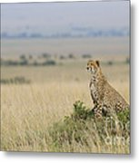 Cheetah Perched On A Mound Metal Print