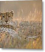 Cheetah Prepares To Sleep Metal Print