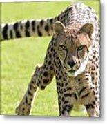cheetah Running Portrait Metal Print