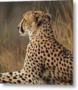 Cheetah South Africa Metal Print