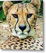 Cheetah Stare L Metal Print