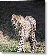 Cheetah Strutting Metal Print
