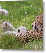 Cheetah With Cubs Metal Print