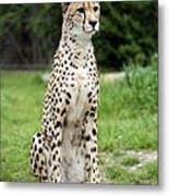 Cheetah's 01 Metal Print