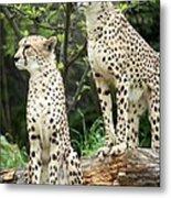 Cheetah's 02 Metal Print