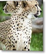 Cheetah's 04 Metal Print