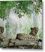 Cheetahs-120 Metal Print