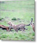 Cheetahs Acinonyx Jubatus Chasing Metal Print