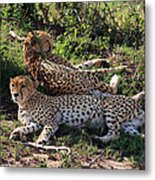 Cheetahs Of The Masai Mara Metal Print