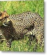 Cheetahs Running Metal Print