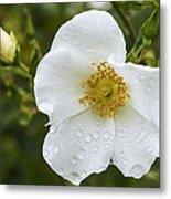 Cherokee Rose With Rain Drops Metal Print