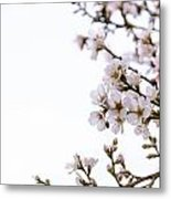 Cherries Blooming In The Spring. Metal Print