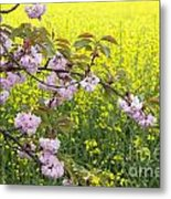 Cherry Blossom And Rapeseed Metal Print