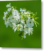 Cherry Blossom Featured 3 Metal Print