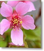 Cherry Blossom Metal Print by Lisa Phillips