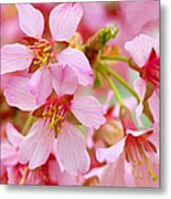 Cherry Blossom Special II Metal Print