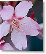 Cherry Blossom Special Metal Print
