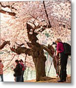 Cherry Blossoms 2013 - 006 Metal Print