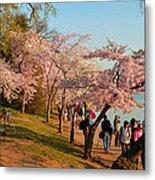 Cherry Blossoms 2013 - 007 Metal Print