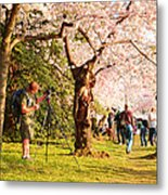 Cherry Blossoms 2013 - 009 Metal Print