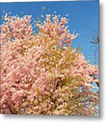 Cherry Blossoms 2013 - 016 Metal Print