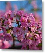 Cherry Blossoms 2013 - 031 Metal Print