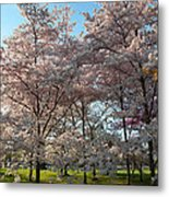 Cherry Blossoms 2013 - 049 Metal Print by Metro DC Photography