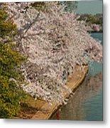 Cherry Blossoms 2013 - 053 Metal Print